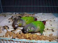 Just weened Green cheek conures. The father is a normal