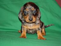 Gorgeous little black and tan dapple smooth coat female
