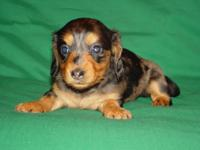 She is a gorgeous little black and tan long coat dapple