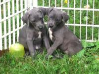 Hi I have ICA registered weimador puppies cute and