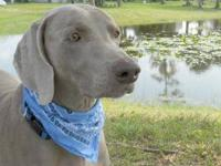 Weimaraner - Barley - Large - Adult - Male - Dog Barley