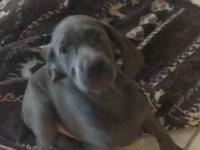 Weimaraner female blue they are 9 week old she he is
