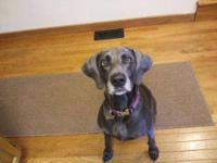 Weimaraner - Heidi--pending~ - Large - Adult - Female -