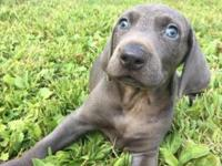 An adorable blue Weimaraner puppy AKC Dewormed, tail