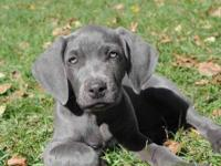 AKC Weimaraner Puppies for sale. 2 Female Blue 1 Female