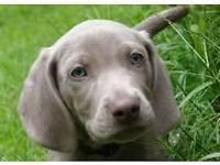I have a male and several female silver AKC Weimaraner