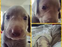 i have weimaraner puppies for sale. I got 6 males nd 2