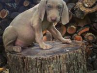 10 wk old silver Weimaraner Puppies! These adorable