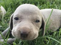 CKC Weimaraner Puppies. Tails docked, dew claws