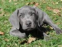 SPRING WEIMARANER PUPPIES!!! BEAUTIFUL BLUE ANS SILVER