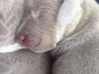 Stunning, silver, complete blooded Weimaraner young