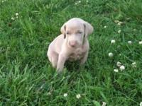 I have actually 4 akc registered weimaraner new puppies