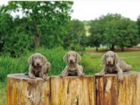 Silver Grey Weimaraner puppies ready to go home after