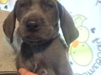 Ckc blue Weimaraner girl. Dew claws removed and tail