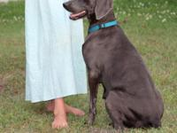 Max is a blue Weimaraner. He is in excellent health, as