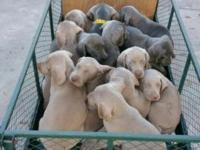 Stunning blue and gray Weimaraner puppies ... prepared