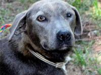 Weimaraner - Royce - Large - Young - Male - Dog