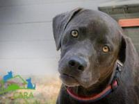 Weimaraner - Sarge - Medium - Young - Male - Dog To see