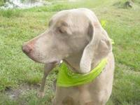 Weimaraner - Ty - Large - Senior - Male - Dog I am