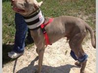 Weimaraner - Wesley - Large - Young - Male - Dog My