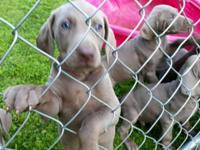 Weinaraner Doberman mix puppies for sale! $500.00. 1st