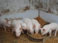 we have 3 different litters of weiner pigs: 1st litter