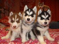Animal Type: Dogs Breed: Siberian Husky Our puppies are