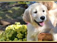 AKC Golden Retriever puppies Dam: Duchess Daisy of