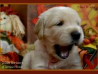 AKC Golden Retriever puppies DOB: 9/15/13 Dam: Duchess