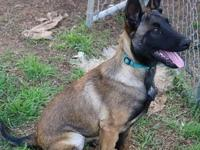 VERY WELL BRED 16 WEEK MALINOIS FEMALE.  SIRE IS