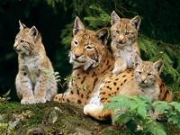 Well Tamed Cheetah cubs, lynx cubs, other exotic big