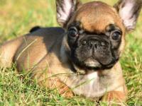 Well Trained Male and Female French Bulldog