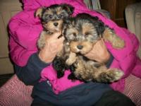 ^$%^$$#$%#* Well Trained Male and Female Yorkie Puppies