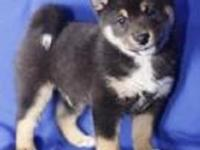 AKC and ACA Registered Shiba Inu Puppies! We have All