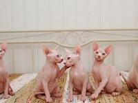 Adorable sphynx kittens available to approved forever