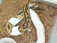 Hello we have to pied ball pythons available and ready