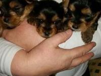 A very well bred A.K.C. TINY size pure breed yorkie