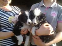 sweet litter of Welsh Sheepdog pups,with pretty