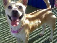 Welsh Corgi - A3274364 - Small - Adult - Female - Dog