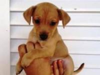 Welsh Corgi - Dori - Small - Baby - Female - Dog One of