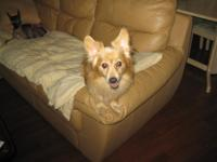 Darling smart male tiny mix Corgi/Pom mix.  6yrs