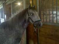 Otis- 7 year old Welsh cross gelding pony. Beautiful