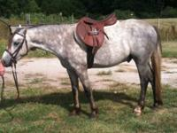 3 yr old Sec. B Welsh Gelding. Sire is Clanfair The
