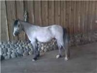 Evans Rhosyn 2008 Section A Welsh Mountain Pony Filly