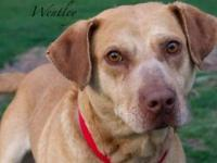 Wentley is another heart worm positive dog soon to be