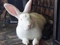*Adoption Pending*  Werner is one awesome bunny! Very