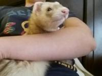Wesley the ferret was found as a stray. He is very