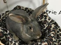 Having a pet rabbit is a long-term commitment; a spayed