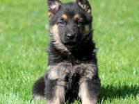 AKC signed up West German Family GSD puppies prepared