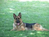 Beautiful West German-Show line, German Shepherd.
